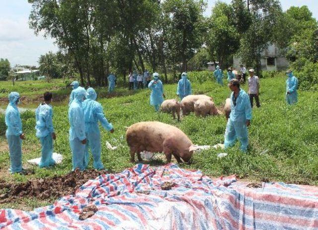 Dịch tả lợn châu Phi diễn biến phức tạp ở khu vực ĐBSCL  - 4