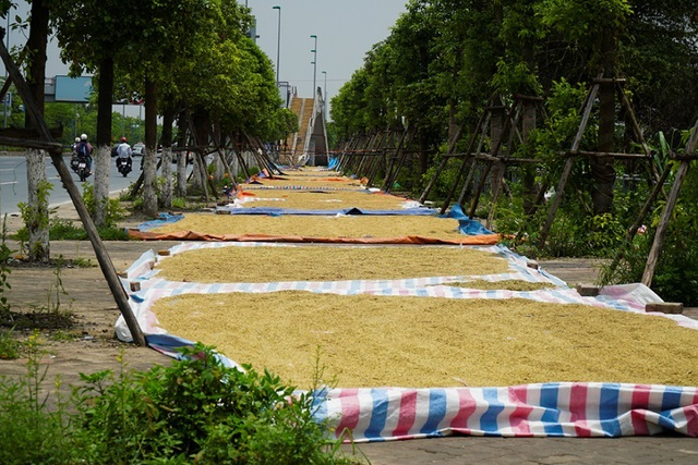 Cảnh phơi thóc chiếm phần lớn lòng đường ở Hà Nội - 6