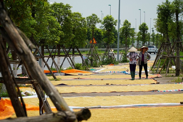 Cảnh phơi thóc chiếm phần lớn lòng đường ở Hà Nội - 7