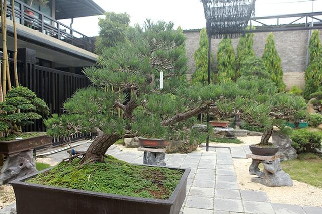 """Doanh nhân Việt chi tiền tỷ mua """"vua bonsai"""" từ Nhật về ngắm - 1"""
