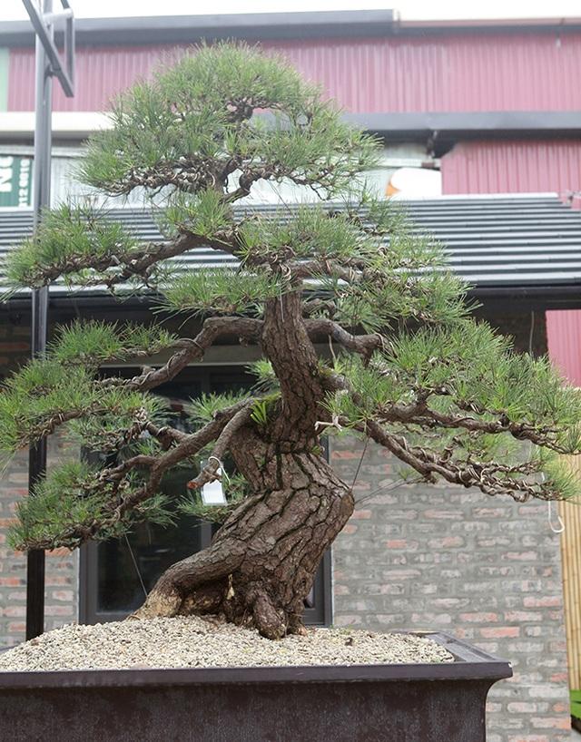 """Doanh nhân Việt chi tiền tỷ mua """"vua bonsai"""" từ Nhật về ngắm - 10"""