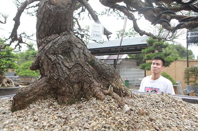 """Doanh nhân Việt chi tiền tỷ mua """"vua bonsai"""" từ Nhật về ngắm - 11"""