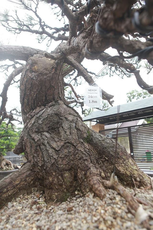 """Doanh nhân Việt chi tiền tỷ mua """"vua bonsai"""" từ Nhật về ngắm - 12"""