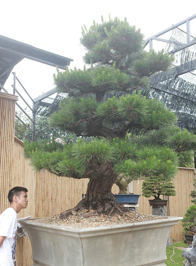 """Doanh nhân Việt chi tiền tỷ mua """"vua bonsai"""" từ Nhật về ngắm - 13"""