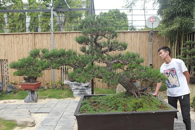 """Doanh nhân Việt chi tiền tỷ mua """"vua bonsai"""" từ Nhật về ngắm - 2"""