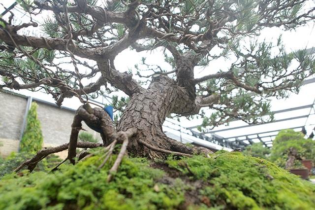"""Doanh nhân Việt chi tiền tỷ mua """"vua bonsai"""" từ Nhật về ngắm - 7"""