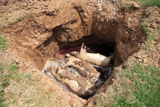 Lợn chết bị vứt bừa, bốc mùi nồng nặc ở xã ngoại thành Hà Nội - 2