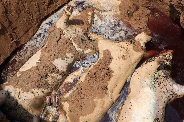 Lợn chết bị vứt bừa, bốc mùi nồng nặc ở xã ngoại thành Hà Nội - 3