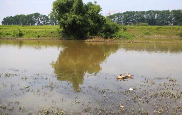 Lợn chết bị vứt bừa, bốc mùi nồng nặc ở xã ngoại thành Hà Nội - 5