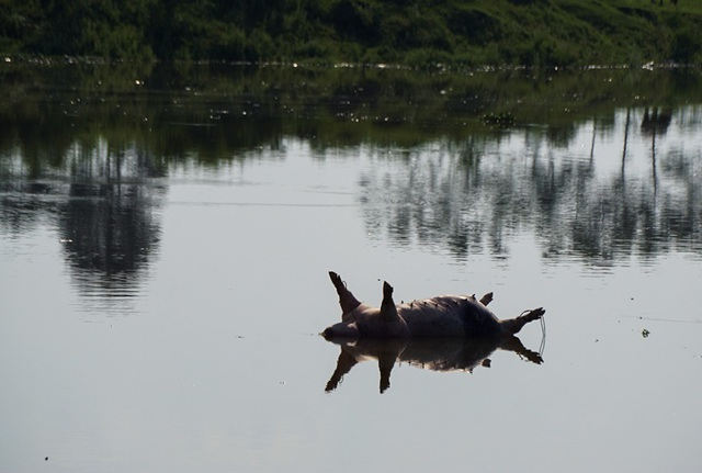 Lợn chết bị vứt bừa, bốc mùi nồng nặc ở xã ngoại thành Hà Nội - 7