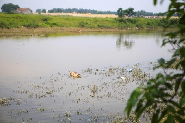 Lợn chết bị vứt bừa, bốc mùi nồng nặc ở xã ngoại thành Hà Nội - 9