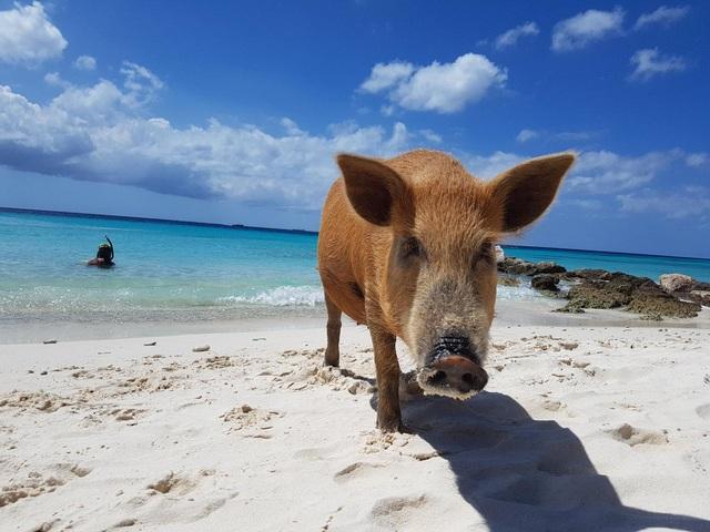 Bãi biển thiên đường ở Curacao đông khách nhờ… hai chú lợn - 2