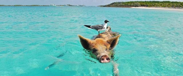 Bãi biển thiên đường ở Curacao đông khách nhờ… hai chú lợn - 4