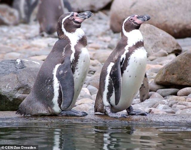 Đôi chim cánh cụt nổi điên, giết chết đồng loại sau khi bị mất con - 3