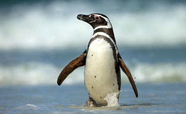 Đôi chim cánh cụt nổi điên, giết chết đồng loại sau khi bị mất con - 4