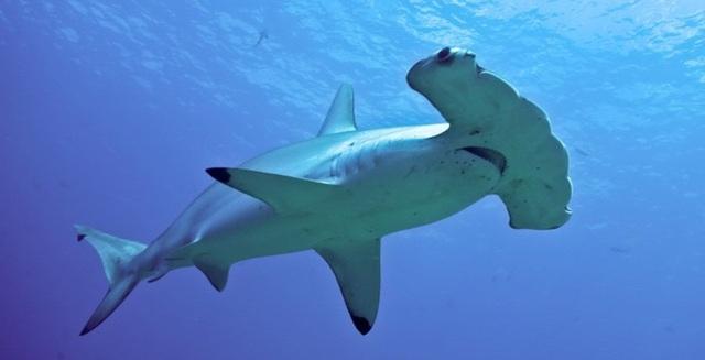 Cá đuối lẩn trốn dưới cát vẫn bị cá mập đầu búa đoạt mạng - 3