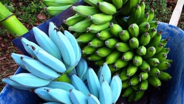 Chuối màu xanh lam – Kỳ lạ từ màu sắc cho tới hương vị - 1