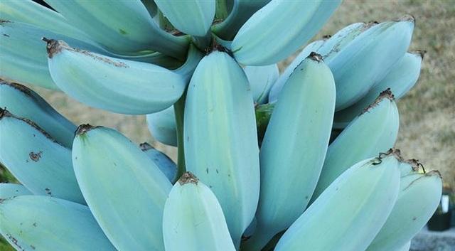Kỳ lạ loại chuối xanh da trời có vị kem vani giá hơn 2 triệu mỗi nải - 4