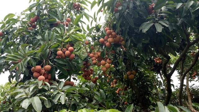 Phát sốt với vườn vải thiều Lục Ngạn ra quả mọc chi chít ở thân - 1