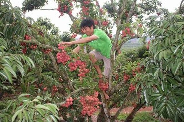 Phát sốt với vườn vải thiều Lục Ngạn ra quả mọc chi chít ở thân - 6