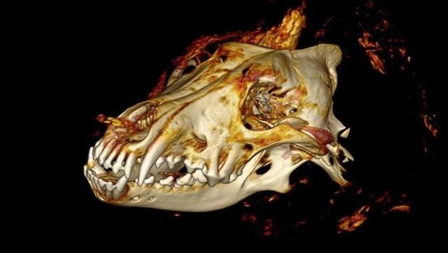 Đầu quái thú 40.000 năm vẫn nguyên vẹn tại vùng Siberia - 2