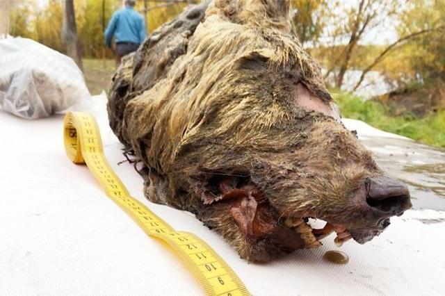 Đầu quái thú 40.000 năm vẫn nguyên vẹn tại vùng Siberia - 1