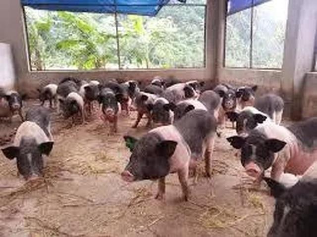 Đau đầu lo giữ giống lợn quý thuần chủng giữa cơn bão dịch tả châu Phi - 1