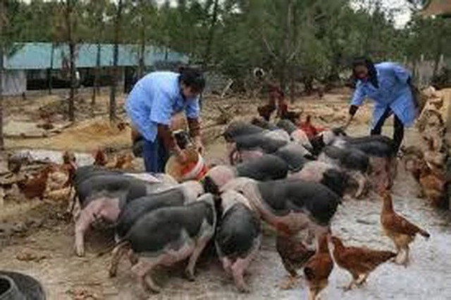 Đau đầu lo giữ giống lợn quý thuần chủng giữa cơn bão dịch tả châu Phi - 3