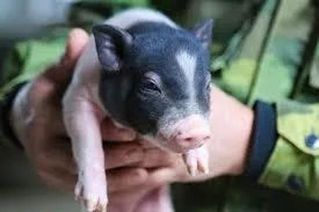 Đau đầu lo giữ giống lợn quý thuần chủng giữa cơn bão dịch tả châu Phi - 2