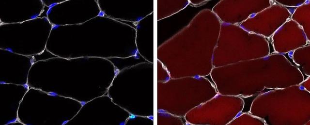 Tế bào gốc có thể được chỉnh sửa gene ngay bên trong cơ thể sinh vật sống - 1