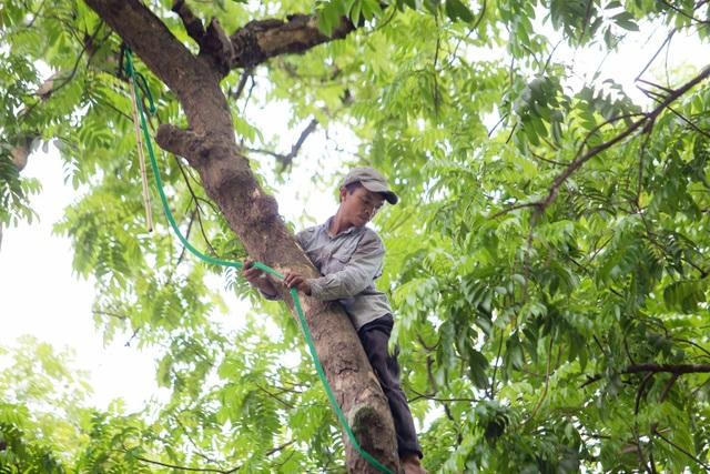"""""""Người nhện"""" đu mình trên cây hái sấu non, kiếm bạc triệu ngày - 2"""