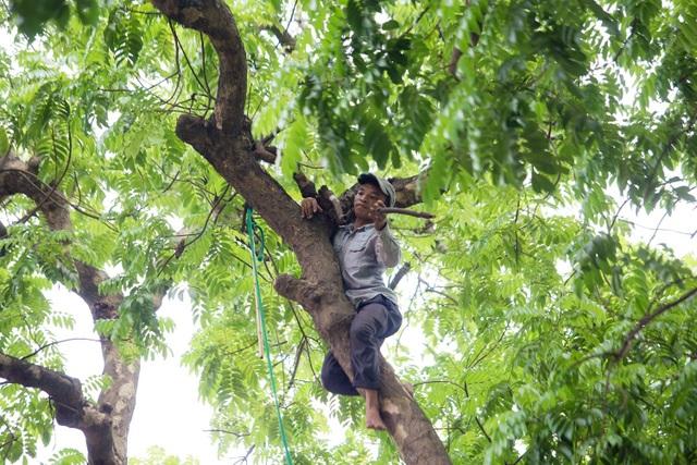 """""""Người nhện"""" đu mình trên cây hái sấu non, kiếm bạc triệu ngày - 3"""