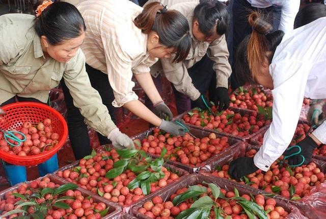 260 chủ vựa Trung Quốc tranh mua, vải thiều Bắc Giang giá cao kỷ lục - 1