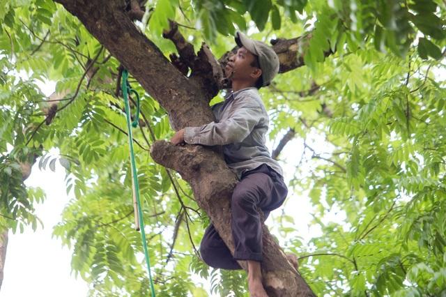 """""""Người nhện"""" đu mình trên cây hái sấu non, kiếm bạc triệu ngày - 4"""