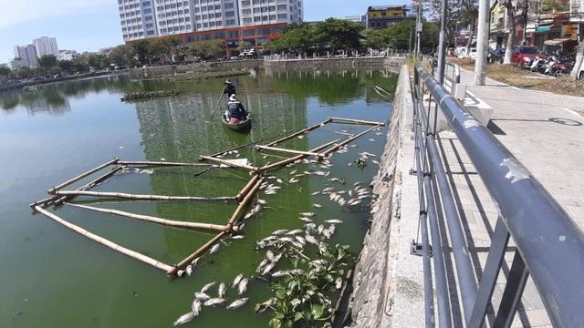 Cá chết nổi trắng hồ ở trung tâm thành phố Đà Nẵng - 2