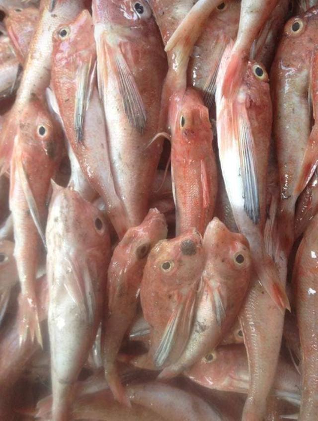 Cá đùi gà thực chất là cá chuồn, không phải cá nóc! - 1