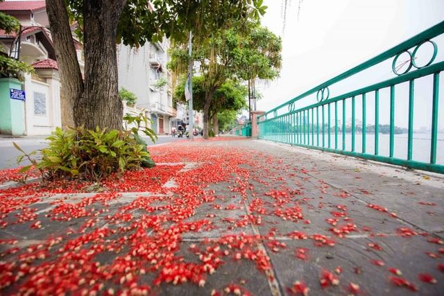 Khung cảnh lãng mạn mùa hoa lộc vừng trải thảm đỏ ven Hồ Tây - 1