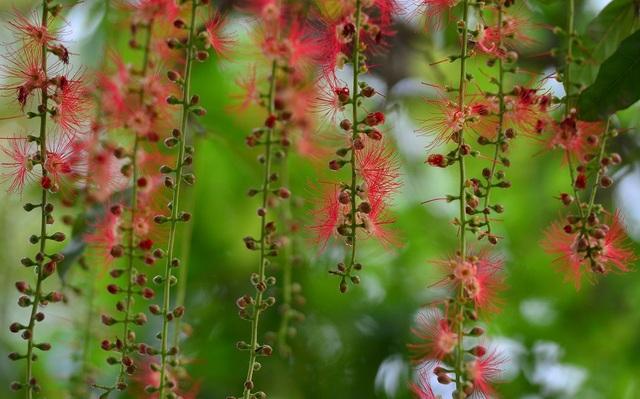 Khung cảnh lãng mạn mùa hoa lộc vừng trải thảm đỏ ven Hồ Tây - 2