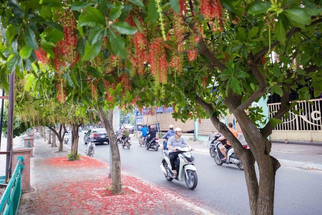 Khung cảnh lãng mạn mùa hoa lộc vừng trải thảm đỏ ven Hồ Tây - 6