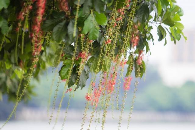 Khung cảnh lãng mạn mùa hoa lộc vừng trải thảm đỏ ven Hồ Tây - 7