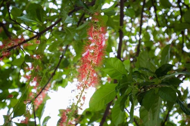 Khung cảnh lãng mạn mùa hoa lộc vừng trải thảm đỏ ven Hồ Tây - 8