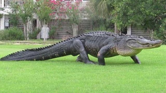 Cá sấu bơi lội trong nước với dao găm cắm chặt trên đầu - 3