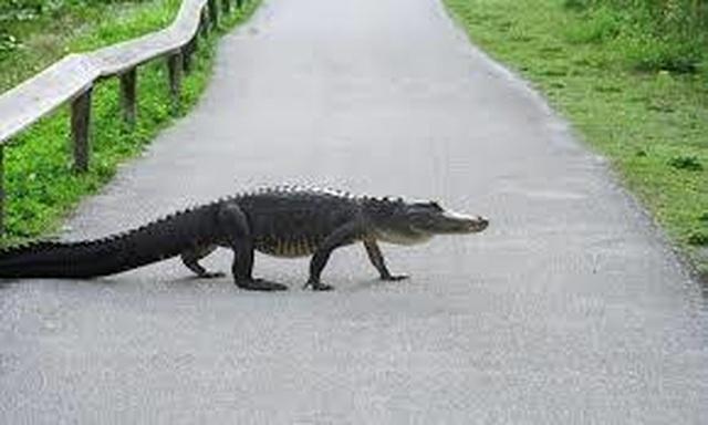 Cá sấu bơi lội trong nước với dao găm cắm chặt trên đầu - 2