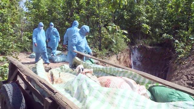 Phú Yên: Phát hiện ổ dịch tả lợn Châu Phi đầu tiên - 1