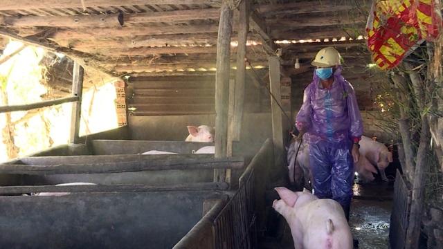 Phú Yên: Phát hiện ổ dịch tả lợn Châu Phi đầu tiên - 2