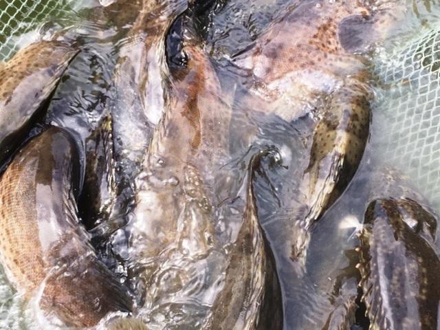 Kiếm tiền tỷ nhờ cho nuôi cá mú chung nhà với ốc hương - 2