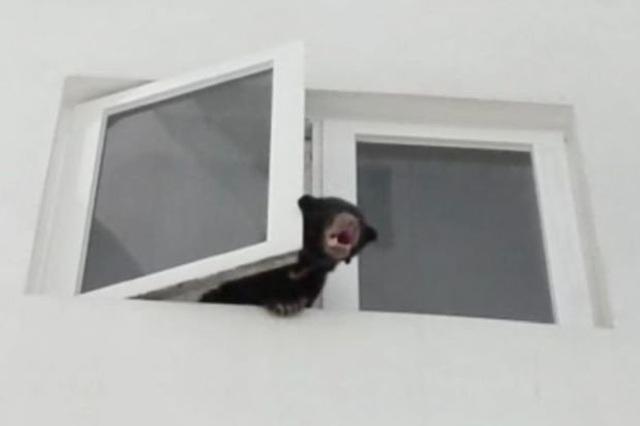 Nuôi gấu sắp tuyệt chủng trong nhà lại cứ nghĩ là nuôi... chó - 1