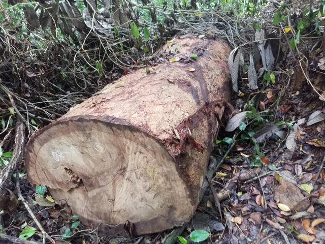 """Cận cảnh cánh rừng Kbang bị tàn phá """"ngổn ngang""""! - 3"""