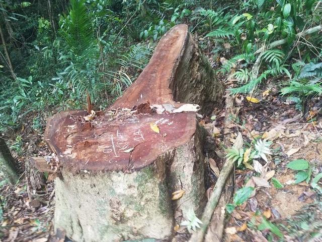 """Cận cảnh cánh rừng Kbang bị tàn phá """"ngổn ngang""""! - 1"""