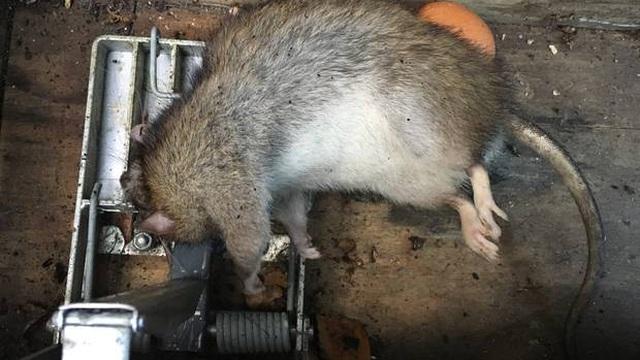 Du khách hoảng sợ trước thảm họa chuột to như mèo hoành hành - 1